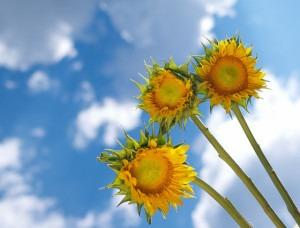 sunflowers happiness